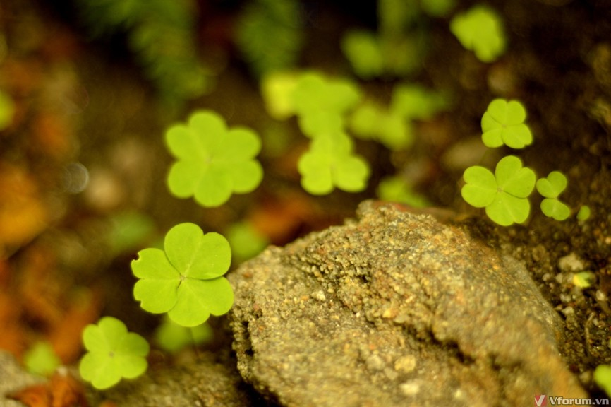 Clover plants wallpapers by Telasm